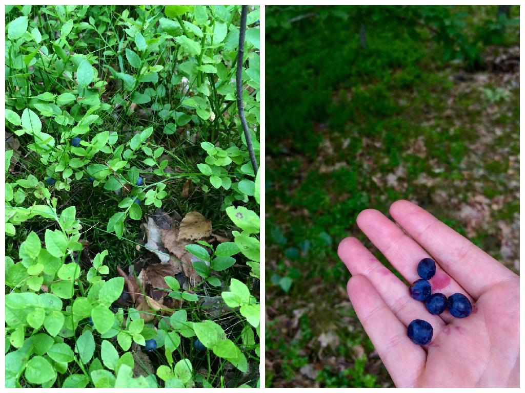 Nowa Wieś Iławecka las jagodowy